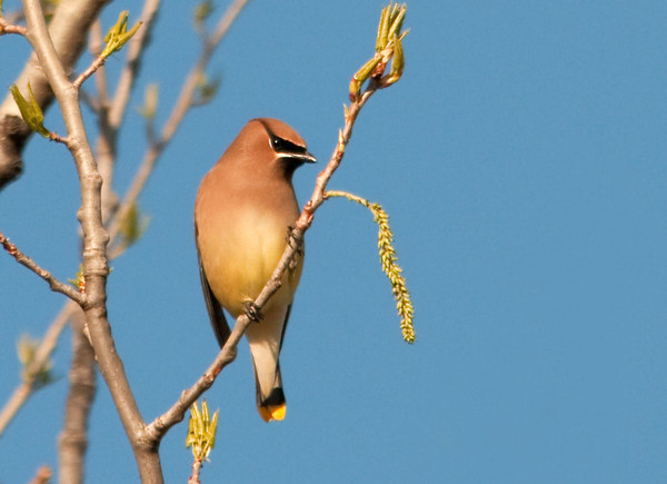 "<div class=""jaDesc""> <h4> Cedar Waxwing in Afternoon Sun - April 2, 2012</h4> <p> A flock of 30 Cedar Waxwings landed in a poplar tree across the road from our house.  Their breasts were glowing in the late afternoon sun.</p> </div>"