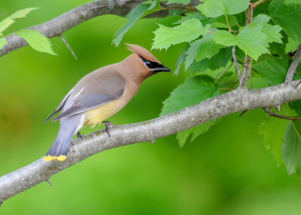 """<div class=""""jaDesc""""> <h4> Cedar Waxwing in Backyard Hawthorne Tree - June 3, 2016</h4> <p>Three Cedar Waxwings landed in the hawthorn tree beside our back porch.  Despite my moving around to set up for this shot, they stayed put.</p> </div>"""