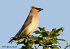 "<div class=""jaDesc""> <h4> Cedar Waxwing on High Perch - September 28, 2006 </h4> <p> When berries are not available, Cedar Waxwings hang out around our horse pastures.  We often see them in the tops of our maple trees scouting the pasture for flying food.</p> </div>"