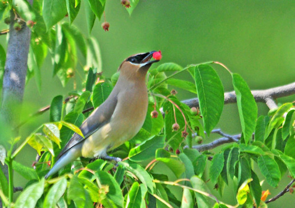 """<div class=""""jaDesc""""> <h4> Cedar Waxwing Showing Off Serviceberry - May 31, 2010</h4> <p> In the Spring, the Cedar Waxwings grab the serviceberries as soon as they are ripe.  A flock of about 20 stopped 2 weeks ago, but immediately got spooked off by a hawk.  I'm hoping they will return soon.</p> </div>"""