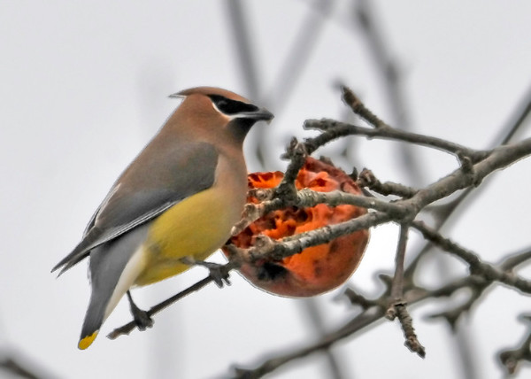 """<div class=""""jaDesc""""> <h4> Cedar Waxwing Eating Apple - February 23, 2014</h4> <p> While driving around the Tioga, NY countryside, I came to a fork in the road and noticed a flock of Cedar Waxwings in a big old apple tree beside the road.  They were feasting on the frozen apples that were still on the tree.</p> </div>"""