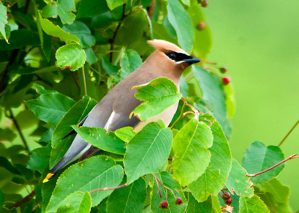 """<div class=""""jaDesc""""> <h4> Cedar Waxwing in Serviceberry Tree - June 18, 2013</h4> <p> When the serviceberries are ripening, the Cedar Waxwing are around all day long selecting the ripest ones.</p> </div>"""
