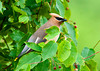 "<div class=""jaDesc""> <h4> Cedar Waxwing in Serviceberry Tree - June 18, 2013</h4> <p> When the serviceberries are ripening, the Cedar Waxwing are around all day long selecting the ripest ones.</p> </div>"