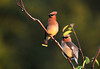 "<div class=""jaDesc""> <h4> Cedar Waxwing Pair in Afternoon Sun - June 15, 2010</h4> <p> This Cedar Waxwing pair were hanging out in our serviceberry tree during a sunny afternoon.  The male was still courting the female.  He brought her a ripe serviceberry a few minutes before I took this photo.</p> </div>"