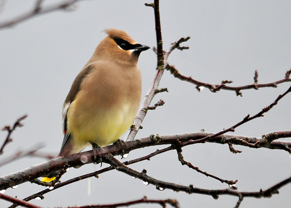 """<div class=""""jaDesc""""> <h4> Cedar Waxwing Eyeing Winterberry Bushes - December 23, 2014</h4> <p> A Cedar Waxwing landed in one of our crabapple trees and was eyeing the nearby winterberry bushes that are full of bright red berries.</p> </div>"""