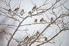 "<div class=""jaDesc""> <h4> Cedar Waxwing Flock Visiting - December 31, 2009 </h4> <p>A flock of 20 Cedar Waxwings has been stopping by about once a week since November. I was able to get 11 of them in this shot. They have eaten all the berries that were on our bushes along our driveway.</p> </div>"