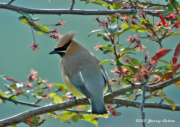 "<div class=""jaDesc""> <h4> Cedar Waxwing in Crabapple Tree - May 29, 2006 </h4> <p> Crabapples are a favorite spring snack for Cedar Waxwings.  I always have my camera ready nearby just as the tender young berries start to appear, so I don&#39;t miss an opportunity to get photos of these beauties.</p> </div>"