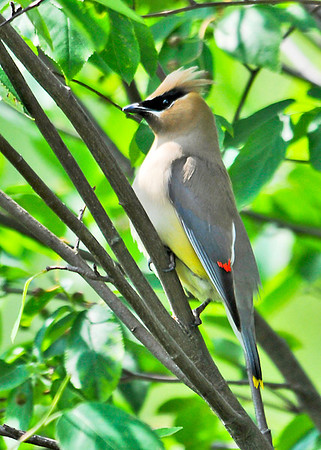 "<div class=""jaDesc""> <h4> Cedar Waxwings Arrive for Afternoon Snack - June 16, 2014</h4> <p> A pair of Cedar Waxwings showed up in one our large serviceberry trees this afternoon for a berry snack.</p> </div>"