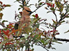 "<div class=""jaDesc""> <h4> Cedar Waxwing Drying Off - May 28, 2010</h4> <p> This Cedar Waxwing was drying off after a vigorous bath.</p> </div>"