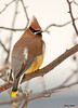 "<div class=""jaDesc""> <h4> Cedar Waxwings Visit - February 9, 2010</h4> <p> About 30 Cedar Waxwings have been flying around our property, but staying high and out of photo distance.  I have been hoping they would visit our yard; today I got my wish.  Four of them landed in one of our crabapple trees. The light was very dim, but I did manage to get some shots.</p> </div>"