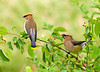 "<div class=""jaDesc""> <h4> Cedar Waxwing Courtship - June 21, 2008 </h4> <p>The  male Cedar Waxwing is offering a serviceberry to the female.  She is playing hard to get.</p> </div>"