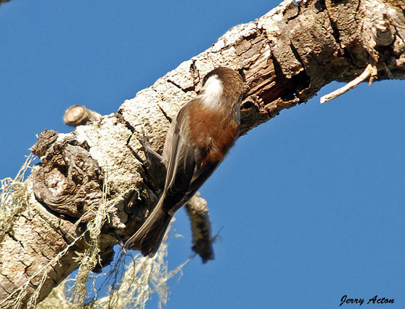 "<div class=""jaDesc""> <h4>Chestnut-backed Chickadee - November 3, 2009 </h4> <p>I only saw one Chestnut-backed Chickadee while visiting my daughter in Monterey, California.  Just like the Black-capped Chickadees around here, they are in non-stop motion.  This guy gave me very few opportunities to even attempt a focused shot.</p> </div>"