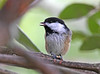 "<div class=""jaDesc""> <h4>Chickadee Tongue Out - August 26, 2020</h4> <p></p> </div>"