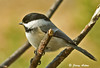 "<div class=""jaDesc""> <h4>Chickadee Close Up- March 15, 2009 </h4> <p>I put a new perch stick in front of our house a few days ago.  The Chickadees were the first to try it out.</p> </div>"