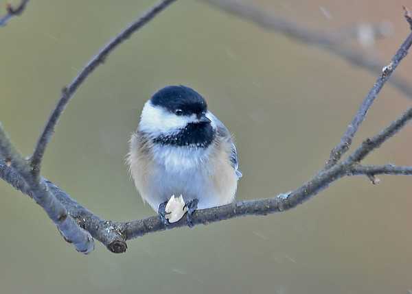 """<div class=""""jaDesc""""> <h4>Chickadee Holding Peanut - January 8, 2017 </h4> <p>One claw on either side is all that's needed to hold the half peanut while eating.</p> </div>"""