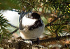 "<div class=""jaDesc""> <h4> Chickadee Hiding in Spruce Tree - January 26, 2008 </h4> <p>  This hyper-active little Chickadee is hiding in our Christmas tree that I put outside.  About 10 of them are spending much of the day eating sunflower seeds that I sprinkle on it every morning. </p> </div>"