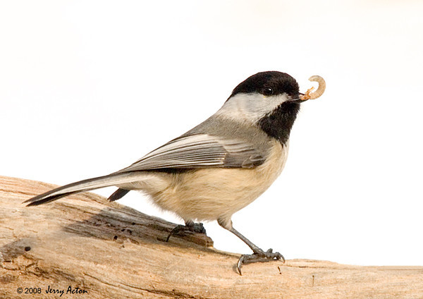 "<div class=""jaDesc""> <h4> Chickadee with Tasty Morsel - March 13, 2008 </h4> <p> If the Bluebirds don't come in right away when I put out mealworms, the chickadees help themselves.  This one showed off its catch before flying off to a bush to eat it.</p> </div>"