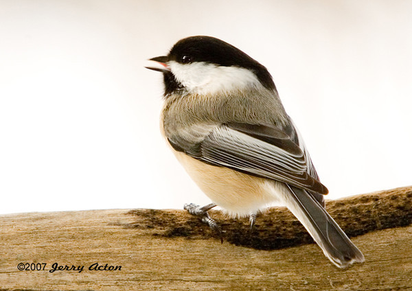 """<div class=""""jaDesc""""> <h4> Chickadee Singing - January 2007 </h4> <p> During mating season, these cute little birds sing """"chickadee - dee - dee"""", just like their name, to stake out their territories.</p> </div>"""