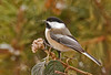 "<div class=""jaDesc""> <h4>Chickadee on Viburnum Branch - January 20, 2012 </h4> <p> I was very pleased to see this Chickadee land on the viburnum branch in a nice perky position. They are zipping around all day long.</p> </div>"