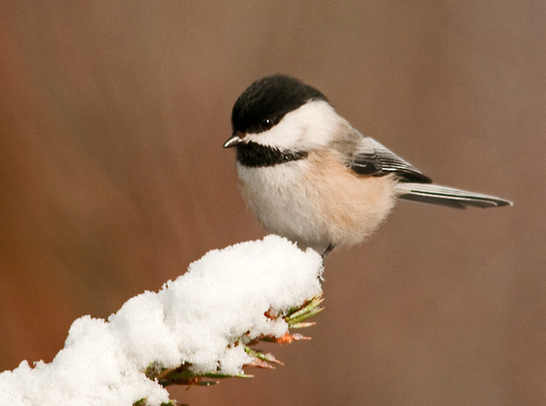 "<div class=""jaDesc""> <h4>Chickadee on Snowy Limb - March 6, 2012 </h4> <p> Hopefully this is the last snowy shot I will get until November or December. With all the warm weather we have had lately, it is hard to believe this shot was taken just 10 days ago on March 9th.</p> </div>"