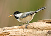 "<div class=""jaDesc""> <h4> Chickadee Making His Getaway - November 29, 2008 </h4> <p> This Chickadee was kicking up oatbran dust as he revved for his getaway with a mealworm.  Both the Chickadees and Downy Woodpeckers compete with the Bluebirds for the mealworms.</p> </div>"