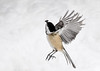 "<div class=""jaDesc""> <h4>Chickadee Vertical Take-off - February 22, 2018 </h4> <p>Got lucky and caught this little speedster taking off after snatching a seed.  He was headed from a snow bank up to a tree limb.</p> </div>"