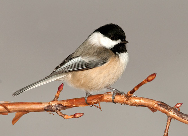 "<div class=""jaDesc""> <h4> Chickadee on Climbing Hydrangea - January 30, 2011 </h4> <p> Took me an hour to get this photo of one of these little speedster Chickadees. They just never stay still.</p> </div>"
