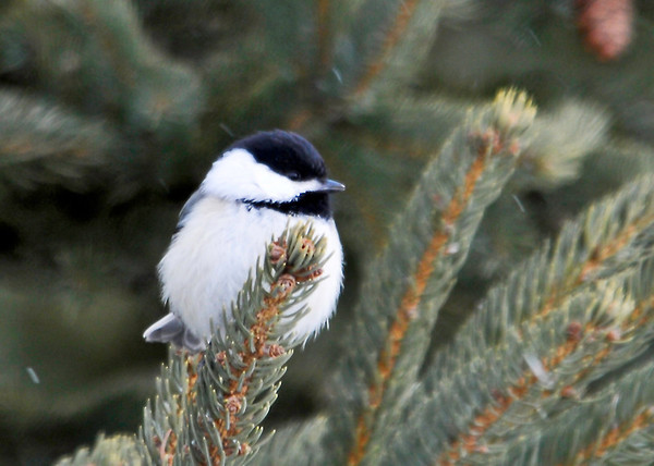 "<div class=""jaDesc""> <h4>Chickadee in Evergreen - March 9, 2014 </h4> <p> This Chickadee was perched in a spruce tree beside the road this afternoon.  I was surprised that she stayed put while I pulled up beside her and took this quick photo.</p> </div>"