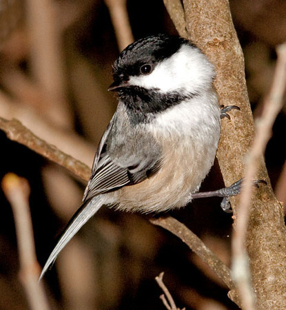 "<div class=""jaDesc""> <h4>Chickadee in Lilac Bush - January 19, 2011 </h4> <p> A friend invited me to photograph some of the Chickadees that hang out in huge old lilac bushes in her back yard. There must be at least 20 of them and they are very tame. They were zipping all around me; it was hard to decide which one to focus on.</p> </div>"