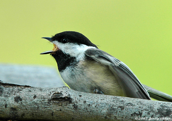 """<div class=""""jaDesc""""> <h4> Fledgling Chickadee Calling for Mom - July 2006 </h4> <p> This fledgling Chickadee was very distraught when it realized mom had left him behind on the perch.</p> </div>"""