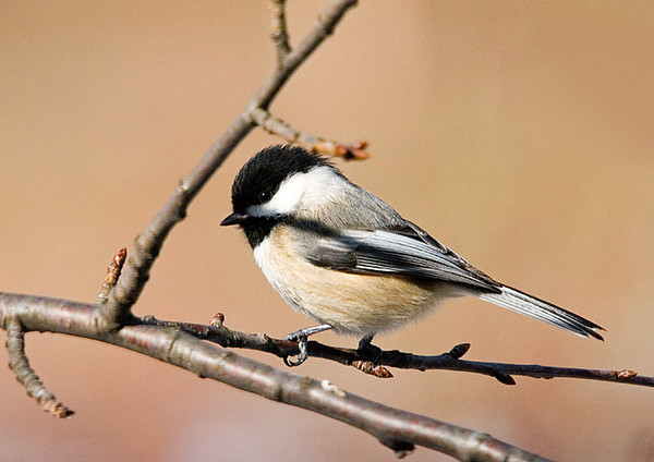 "<div class=""jaDesc""> <h4> Chickadee on Branch - February 21, 2008 </h4> <p>  These little bundles of cheer are all over the place all day long.  The Chickadees have started their territory calls, a sure sign that spring is near.</p> </div>"