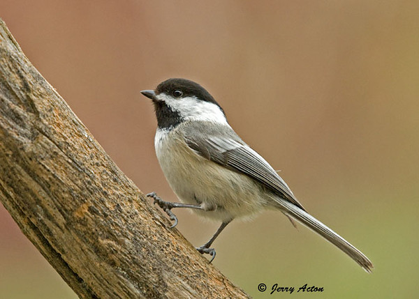 "<div class=""jaDesc""> <h4>Chickadee Close Up- April 11, 2009 </h4> <p>There is still quite a bit of chasing going on among the Chickadees. Guess they are still sorting out their pairings. This guy stopped briefly to allow a photo.</p> </div>"