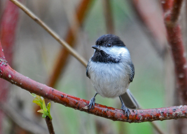 """<div class=""""jaDesc""""> <h4>Chickadee in Red-twig Dogwood - May 14, 2016 </h4> <p>We have 4 regular visiting Chickadees.  They stop in this bush on the way into the feeders.</p> </div>"""