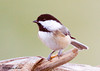 "<div class=""jaDesc""> <h4> Chickadee Munching Mealworm - November 30, 2007 </h4> <p> The Chickadees enjoy the mealworms too.  If I put them outside the enclosed feeder box, they are on them right away.  This one was picking at it like eating an ear of corn.</p> </div>"