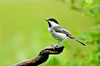 "<div class=""jaDesc""> <h4> Black-capped Chickadee Posing - July 20, 2008 </h4> <p> The Chickadees have returned from the woods with their ""chicklets"".  For about 3 months, we don't see any; now we have a lot of them again.  It is nice to hear their cheery ""chicka dee dee dee"" calls all day long.</p> </div>"