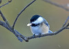 "<div class=""jaDesc""> <h4>Chickadee Finds Peanut - January 8, 2017 </h4> <p>The peanut that a Red-breasted Nuthatch hid in this wild cherry tree was not hidden well enough.  This Chickadee had no trouble finding it a few minutes later.</p> </div>"