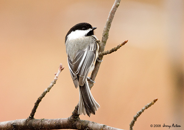 "<div class=""jaDesc""> <h4> Chickadee Looking Around - March 31, 2008 </h4> <p> The ever cheerful Chickadees are staking out their territories in the woods.  This one stopped for a brief moment to look around before heading back to the woods.</p> </div>"