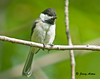 "<div class=""jaDesc""> <h4>Chickadee Resting on Branch - July 21, 2009 </h4> <p>The Chickadees are starting to return to the yard now that their chicks have left the nests.  This guy was taking a break from chasing around through the brush with 3 other Chickadees.  I can't tell the adults from the juveniles.</p> </div>"