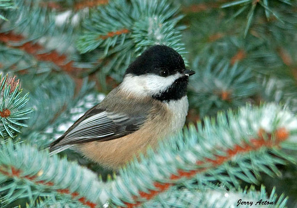 """<div class=""""jaDesc""""> <h4>Chickadee in Christmas Tree - January 12, 2010 </h4> <p>We put our Christmas Tree outside every year when we are finished with it.  I sprinkle bird seed and some shelled peanuts on the branches and wait for the birds to appear.  So far the Chickadees, Juncos, Nuthatch and Cardinals are enjoying it.</p> </div>"""