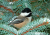 "<div class=""jaDesc""> <h4>Chickadee in Christmas Tree - January 12, 2010 </h4> <p>We put our Christmas Tree outside every year when we are finished with it.  I sprinkle bird seed and some shelled peanuts on the branches and wait for the birds to appear.  So far the Chickadees, Juncos, Nuthatch and Cardinals are enjoying it.</p> </div>"