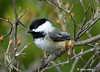 "<div class=""jaDesc""> <h4>Chickadee in Dogwood Tree - April 26, 2009 </h4> <p>We have had about 12 Chickadees zooming around our yard in early spring.  Now they are all up in the woods raising their chicks.</p> </div>"
