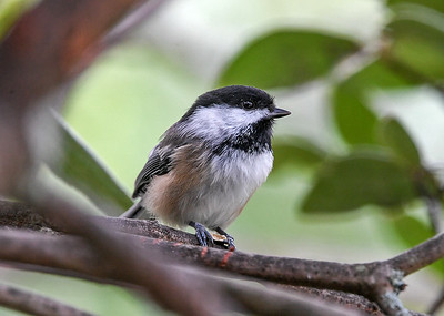 Chickadee Pause from Pecking - August 26, 2020