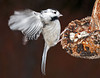 """<div class=""""jaDesc""""> <h4> Leucisitc Chickadee - View 2 - March 30, 2010 </h4> <p>Here is the same leucisitc Chickadee landing on a sunflower seedpod.  In addition to his mostly white face and beak, the tan coloring on his side is very light.</p> </div>"""