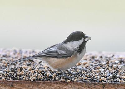 Chickadee with Safflower Seed - November 17, 2020