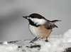 "<div class=""jaDesc""> <h4>Chickadee Grabs a Seed - January 14, 2011 </h4> <p>  We have about 12 Chickadees that visit regularly now that the weather has turned cold. They always go for the black-oiled sunflower seed. I love their cheery chicka-dee-dee-dee call.</p> </div>"