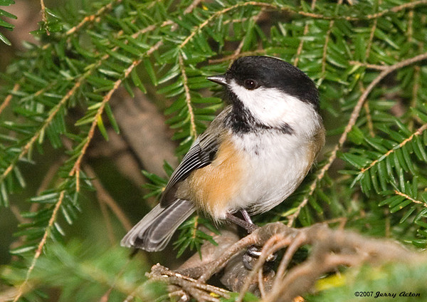 """<div class=""""jaDesc""""> <h4> Chicka Dee Dee Dee ... - October 18, 2007 </h4> <p> ...is what the Chickadees sing all day long as they come and go from the feeders.  Caught this one on its approach stop in the hemlock tree.</p> </div>"""