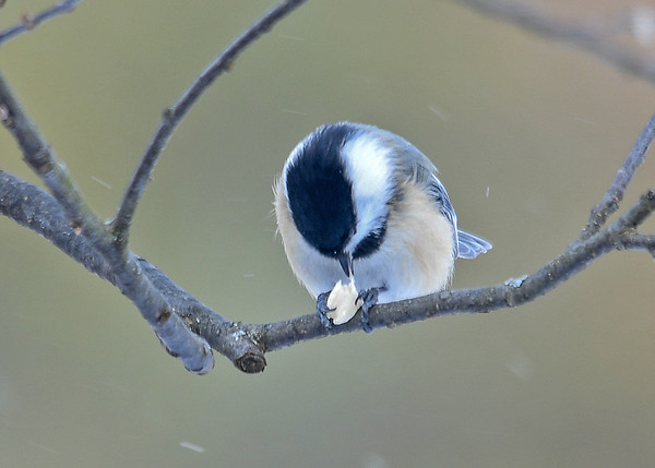 "<div class=""jaDesc""> <h4>Chickadee Taking Bite of Peanut - January 8, 2017 </h4> <p>It takes about 15 minutes for a Chickadee to eat a half peanut.  They move around from branch to branch, never staying in one spot for more than a minute.</p> </div>"
