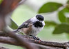 "<div class=""jaDesc""> <h4>Chickadee Looking at Me - August 26, 2020</h4> <p></p> </div>"