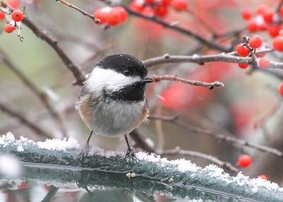 Chickadee at Heated Birdbath - December 20, 2020
