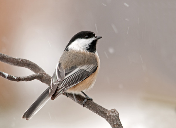 "<div class=""jaDesc""> <h4>Chickadee with Snowflake on Beak - January 4, 2012 </h4> <p> Now that the cold weather has hit, 12 Chickadees greet me every morning when I put the seed out. They stick around most of the day, so I have more opportunity to catch them during brief moments when they are not zooming around.</p> </div>"